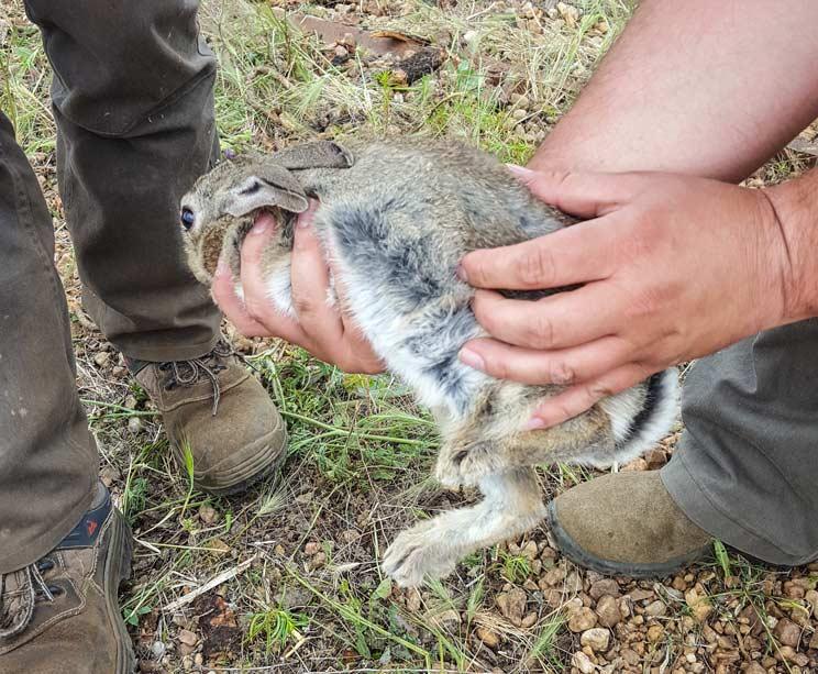 Denunciados dos cazadores por repoblar conejos sin autorización