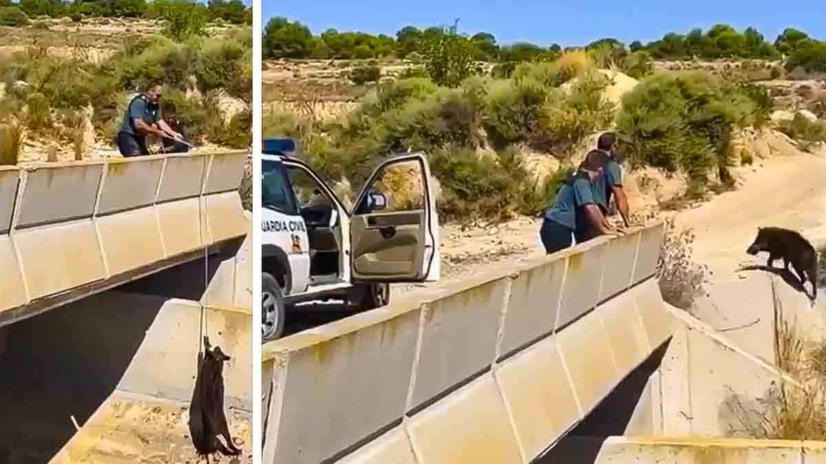 Así ha sido el complicado rescate de un jabalí en el trasvase Tajo-Segura