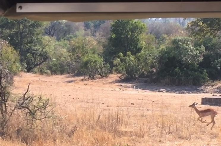 ¿Eres capaz de localizar a este leopardo antes de que atrape a su presa?