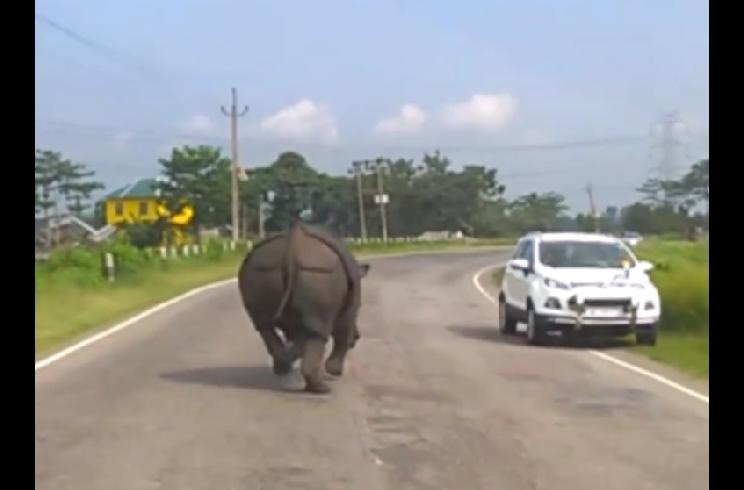 Un rinoceronte recorre en sentido contrario esta carretera cargando contra los vehículos