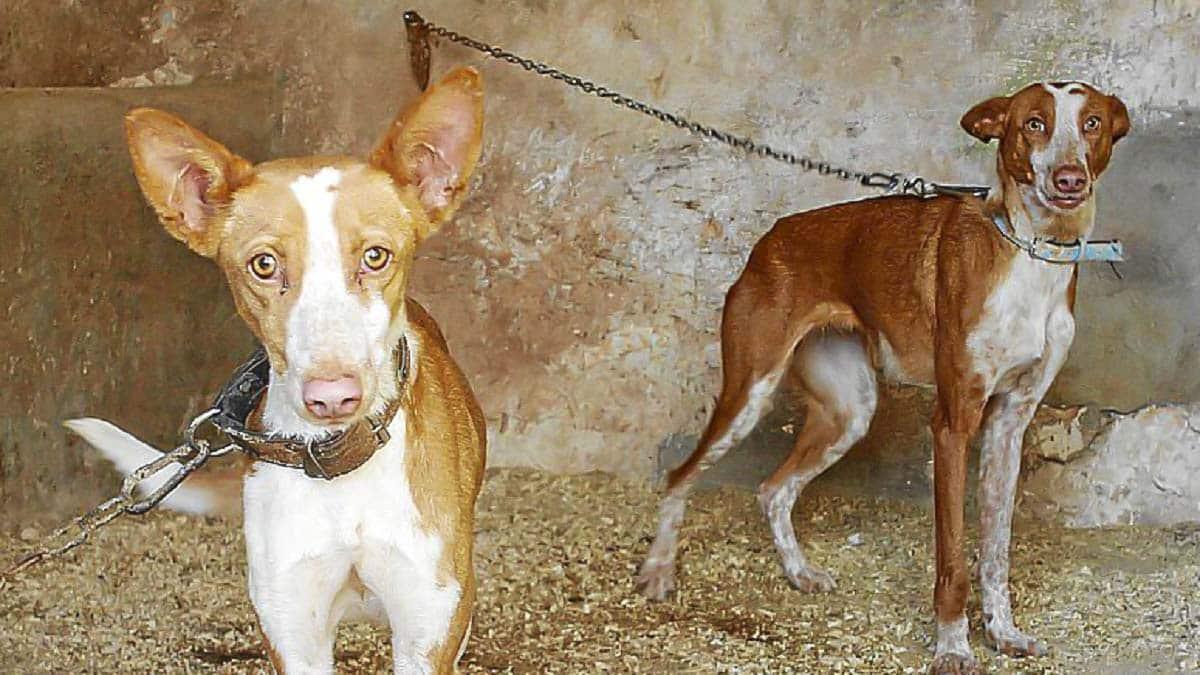Roban 17 perros de caza y los dejan atados a la intemperie