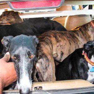 ¿Cómo actúan las mafias que roban, maltratan y abandonan perros de caza?
