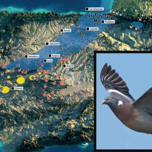 Estas son las rutas migratorias de la paloma torcaz en España: cada año las siguen tres millones de aves