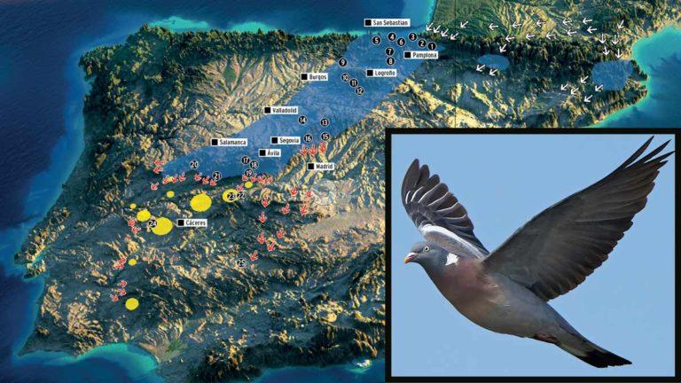 Las rutas migratorias de la paloma torcaz en España.