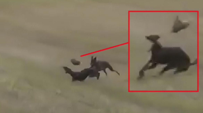Una liebre hace una extraordinaria pirueta para escapar de los galgos