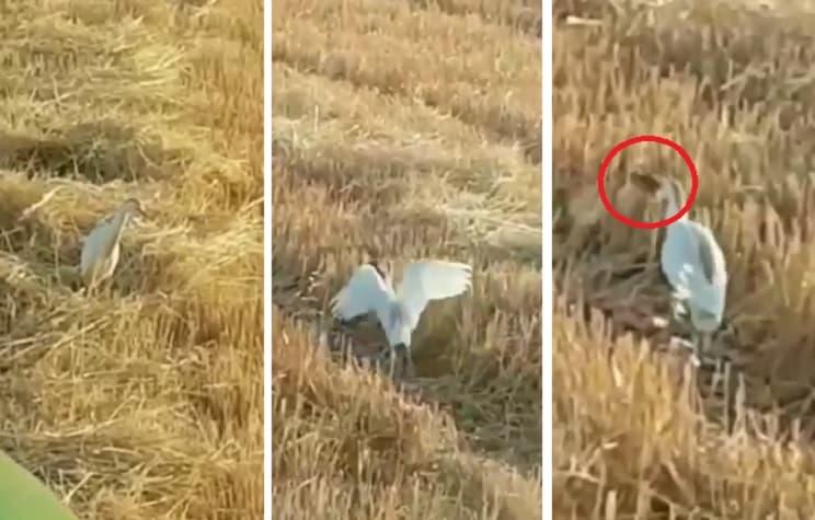 Graban a una garcilla bueyera comiendo pollos de perdiz