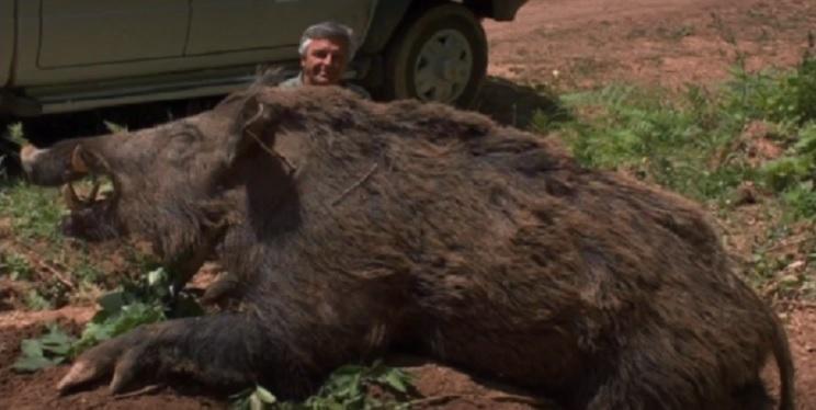 ¿El jabalí más grande del mundo?