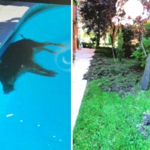 Aparece un jabalí muerto en una piscina de Majadahonda