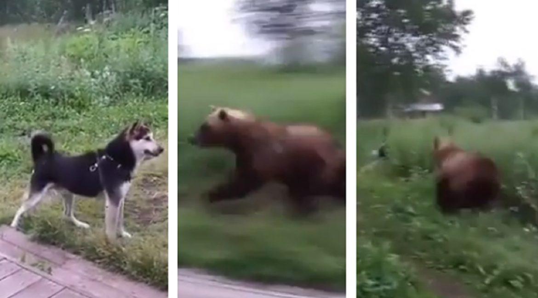 Un oso quiere cazar a su perro y él lo intenta ahuyentar con un spray de pimienta
