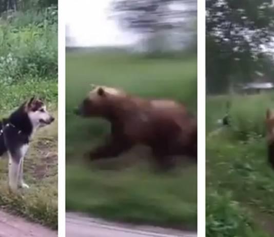 oso perro