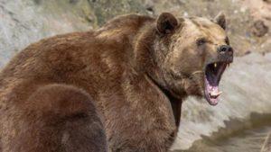 Un oso hiere de gravedad a una mujer en Asturias