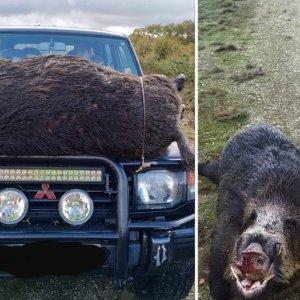 Cazan un gigantesco y viejo jabalí de 160 kilos que tardó dos horas en salir del zarzal donde se encamaba