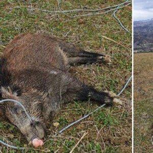 Un jabalí muere electrocutado tras morder un cable derribado por el viento
