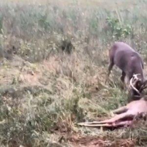 Un hombre encuentra dos ciervos con la cuerna enredada y dispara con su arma