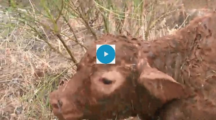 cazadores vaca