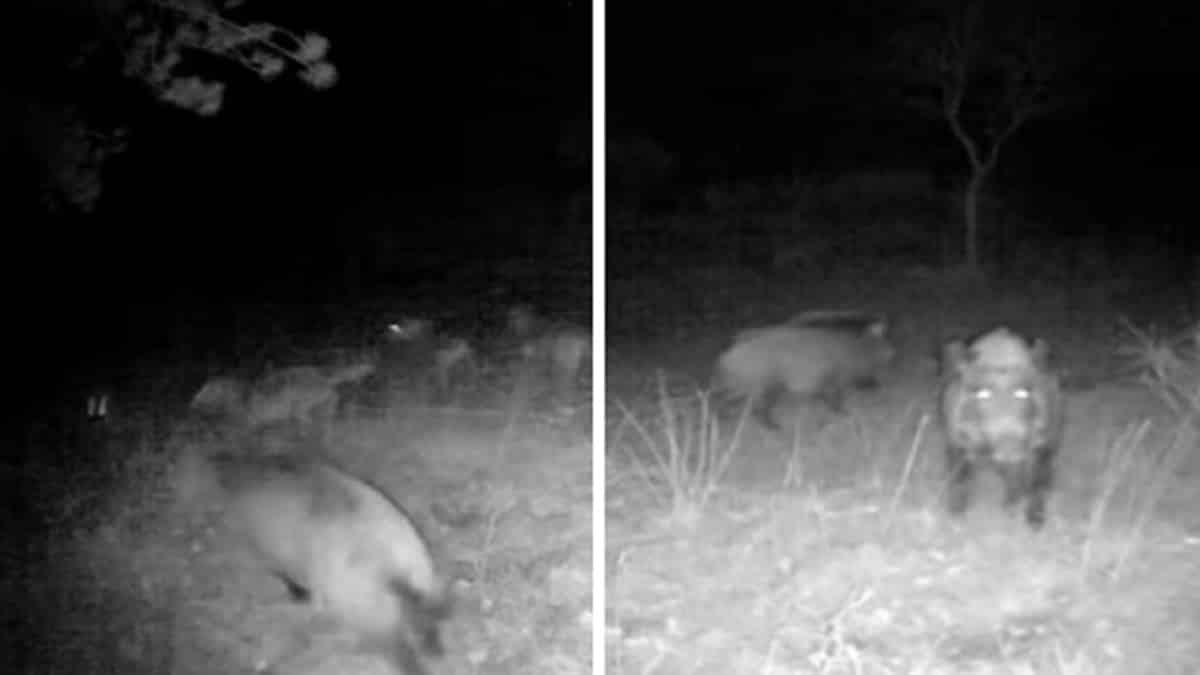 Una manada de lobos pone cerco a un imponente jabalí y lo ataca