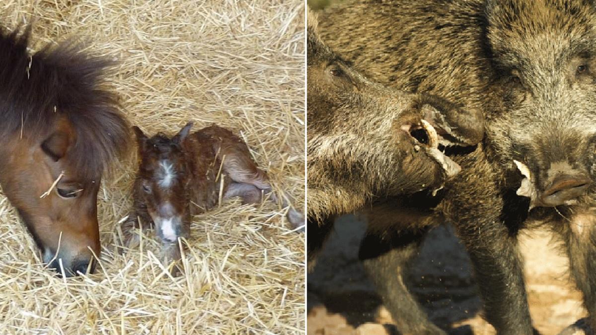 Una piara de jabalíes se salta un pastor eléctrico y ataca a un poni y dos terneros