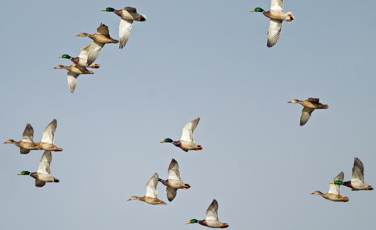 SEO/BirdLife propone acabar con la superpoblación de patos de Badajoz dándolos en adopción