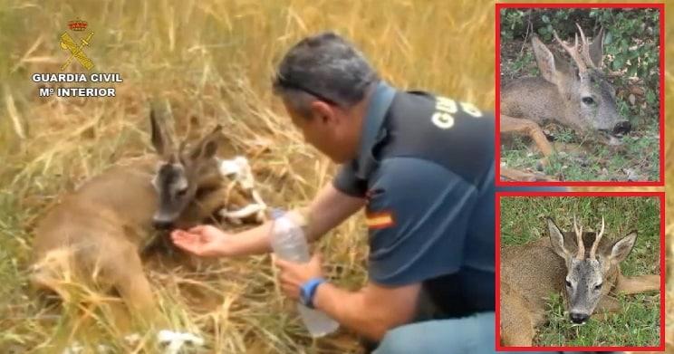 El Seprona confunde un corzo adulto herido con una cría y habla de «furtivismo»