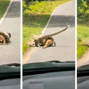 Una serpiente caza a un ciervo y un hombre intenta salvarlo, el vídeo que ha dividido a Twitter