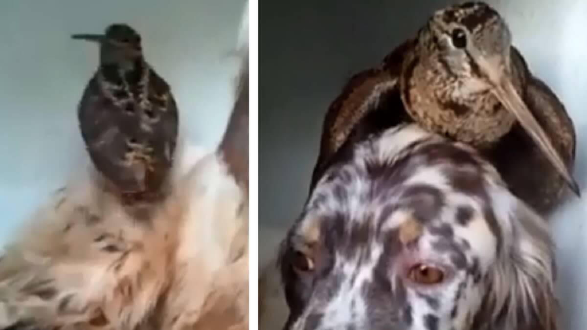 Una becada se sube a la cabeza de un setter inglés, el vídeo que sorprende a los cazadores