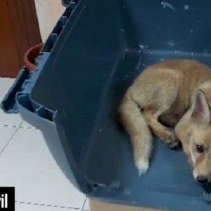 Capturan a una cría de zorro, suben las fotos a las redes y el Seprona los denuncia