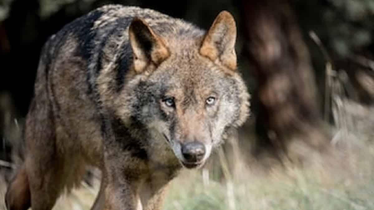 Declaran una zona 'libre de lobo' y aparece uno frente a un pastor
