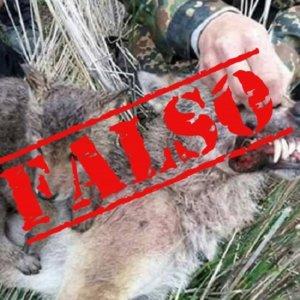 La última mentira viral animalista: cazadores matan a una loba y hacen una foto a su lobezno