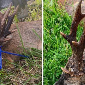 Caza un viejo corzo con tres rosetas, siete puntas y 24 centímetros de altura