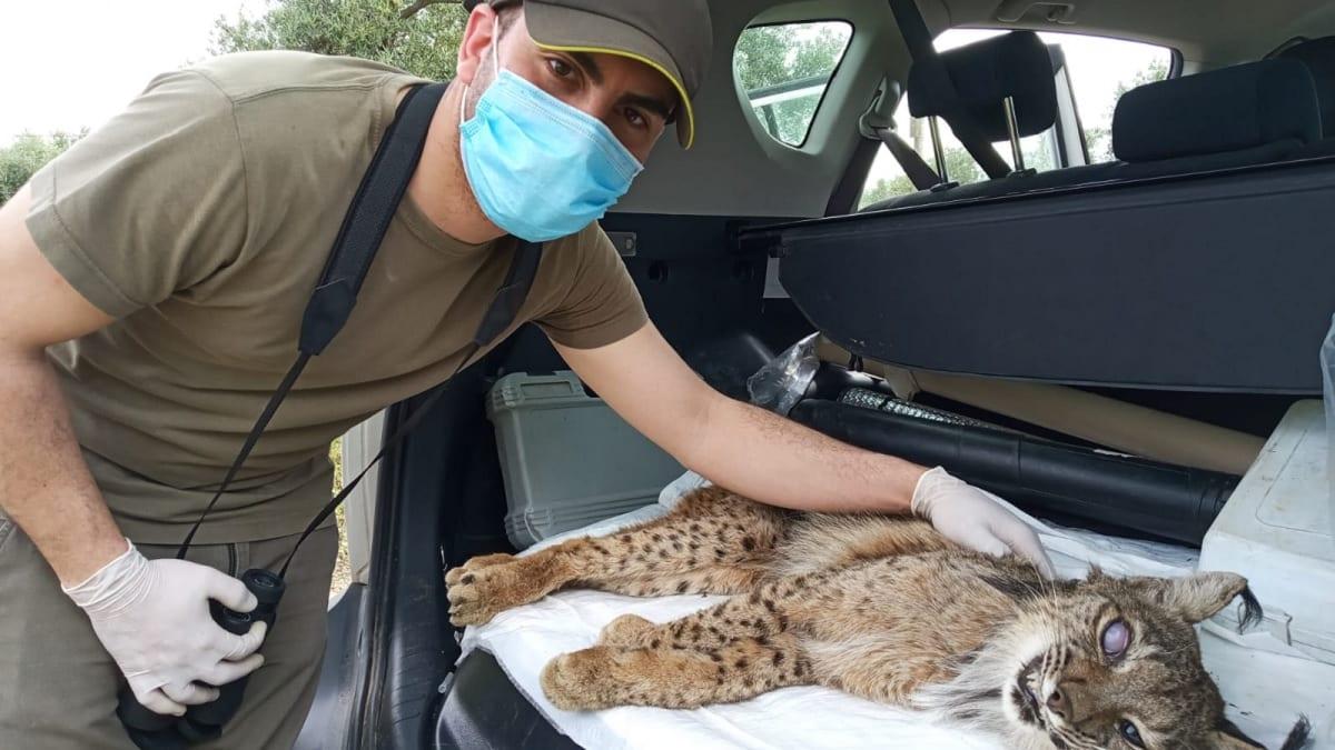 Un cazador salva la vida a un lince enfermo en pleno estado de alarma