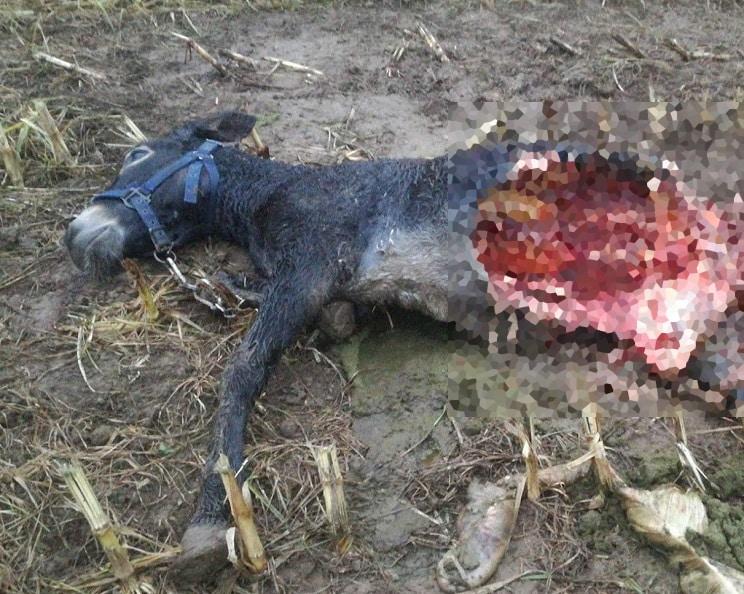 Los lobos se pasean por un pueblo asturiano y matan a un burro: «no podemos salir de casa por las noches»