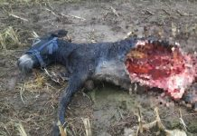 burro lobos