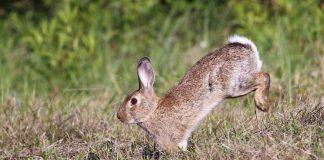 conejo aragón