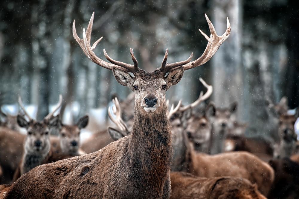 Los ganaderos extremeños no podrán abatir jabalíes y ciervos