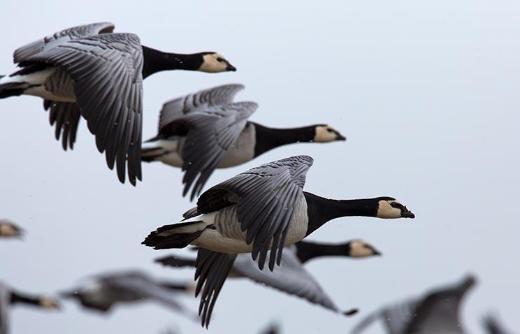 Bandada de gansos volando hacia el norte. /Shutterstock