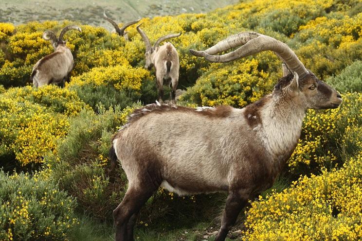 El Parque del Guadarrama plantea reducir la población de cabras en un 30%