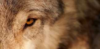 mirada del lobo iberico