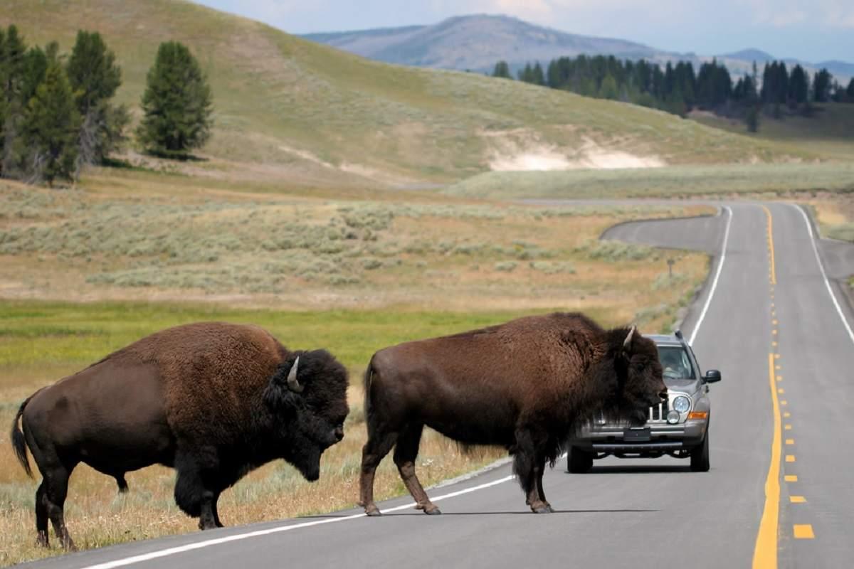 El parque de Yellowstone cazará bisontes para regular las poblaciones