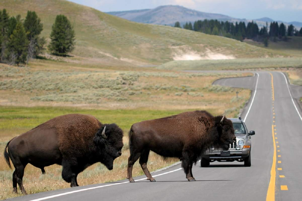 two bison slowly make their way across the road. rush hour in yellowstone national park, wyoming.