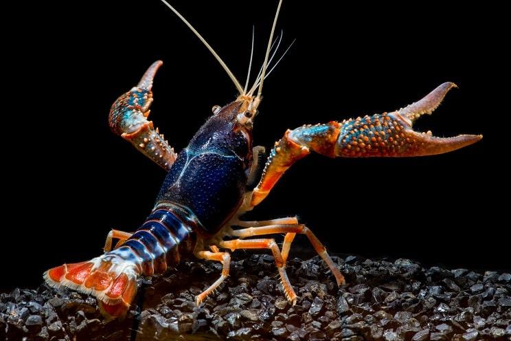 Los cangrejos americano y señal transmiten 'la peste del cangrejo', que mata a los autóctonos