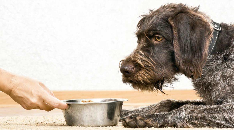 ¿Por qué mi perro no quiere comer después de volver de caza?