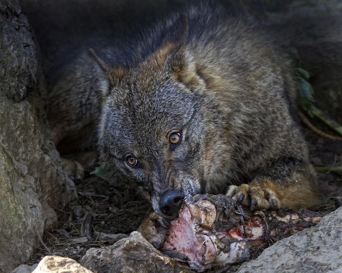 Los ganaderos asturianos reclaman que el lobo sea declarado especie cinegética