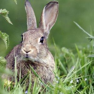 ¿Podrá seguir cazándose el conejo tras declararlo especie en peligro de extinción?