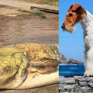 Una mujer asegura que un siluro se comió a un fox terrier en el Tiétar