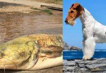siluro se come a un fox terrier en el Tietar