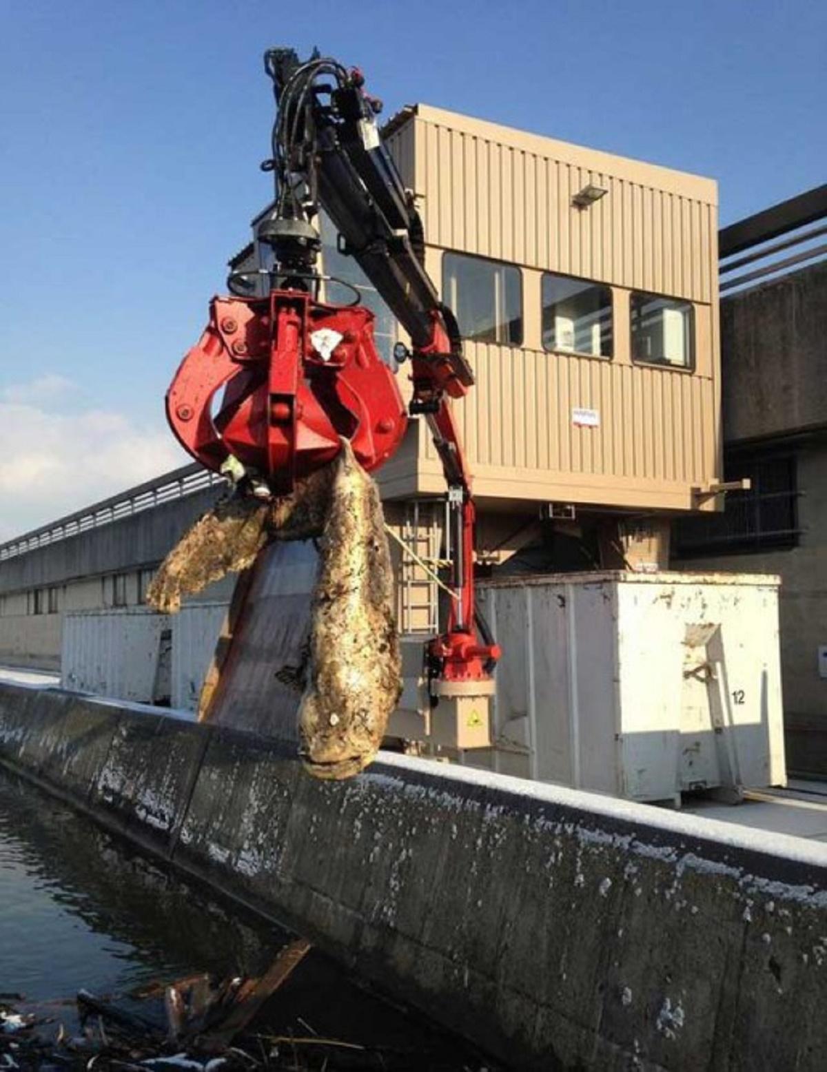Un siluro de 90 kilos atasca una presa en Austria