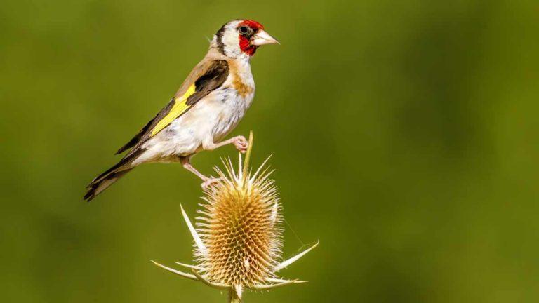 Jilguero, una de las aves que más pasión genera entre los silvestristas.