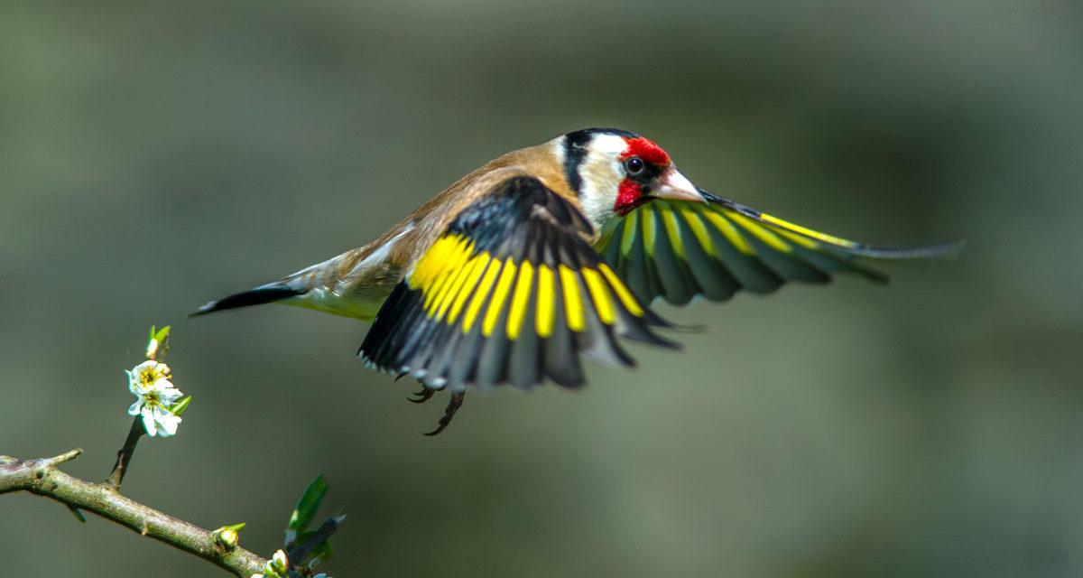 Jilguero, una de las especies más representativas del silvestrismo. @Shutterstock