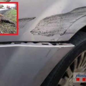 Denuncian a un conductor por simular un accidente con un jabalí para cobrar del seguro