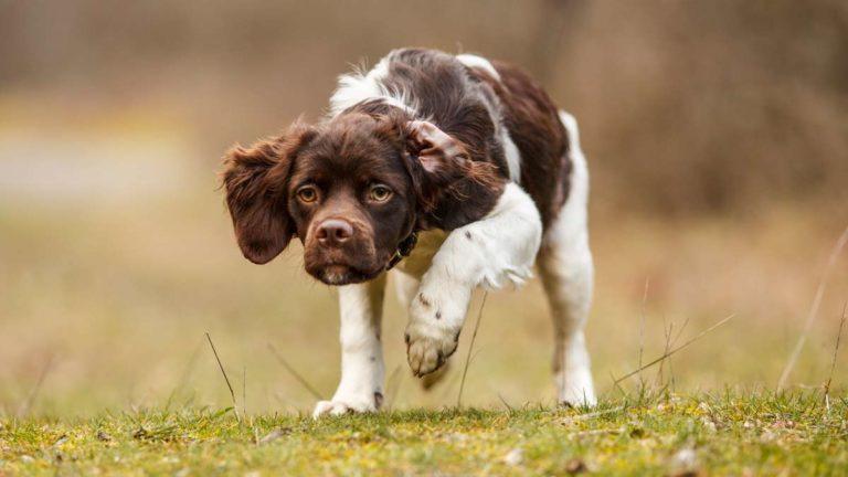 Cachorro de epagneul bretón realizando muestra. ©Shutterstock